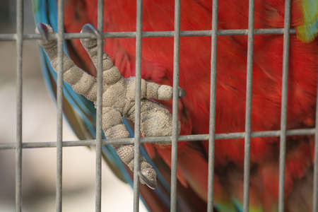Close up of a Red-and-green macaw (Ara chloropterus) foot, holding the cage with its claws