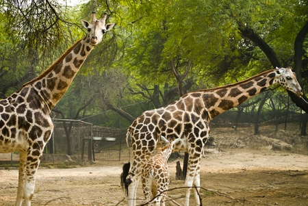 Giraffe Stock Photo - 9190119