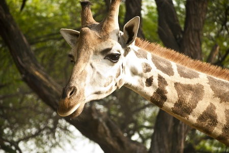 Giraffe Stock Photo - 9190124