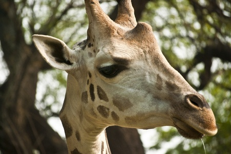 Giraffe Stock Photo - 9190150