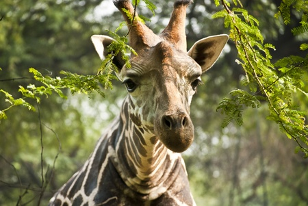 Giraffe Stock Photo - 9190139