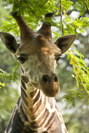 Giraffe Stock Photo - 9190146