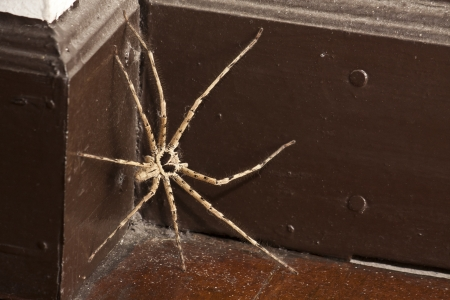 Spider Brown and Long Leg photo