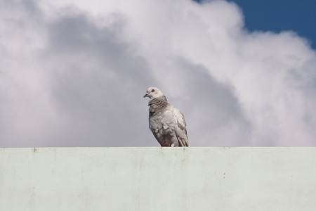 Pigeon on the building on sky and cloud background