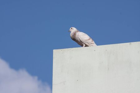 Pigeon on the building top