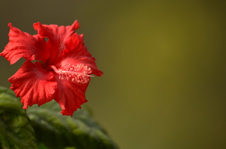pretty hibiscus flower with green blur   photo
