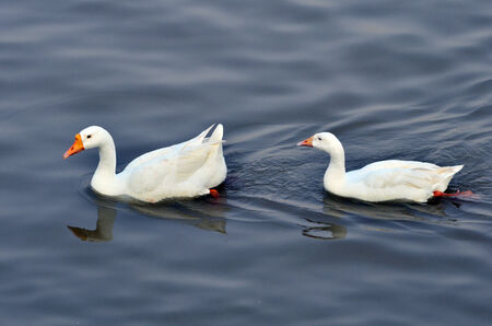 Pair of white Geese swimming freely in blue water with lot of copy space for messages photo