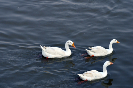 Group of white Geese swimming freely in blue water with lot of copy space for messages photo