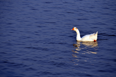 Single Geese swimming freely in blue water with lot of copy space for messages photo