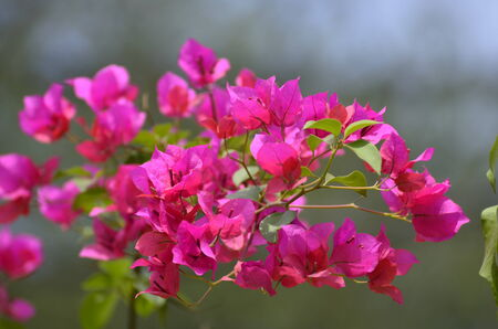 Very pretty pink colorful bougainvillea, perfect natural background  photo