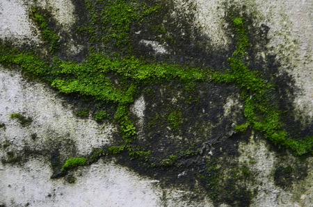 Concrete wall with moss green algae in full bloom on it photo