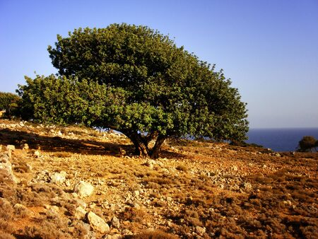Olive tree and cretan landscape with sea in the background