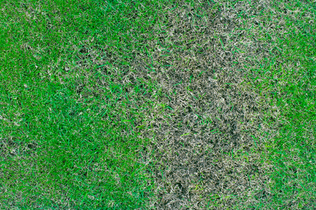 Green grass texture, Patchy grass texture for background, lawn in bad condition and need maintaining