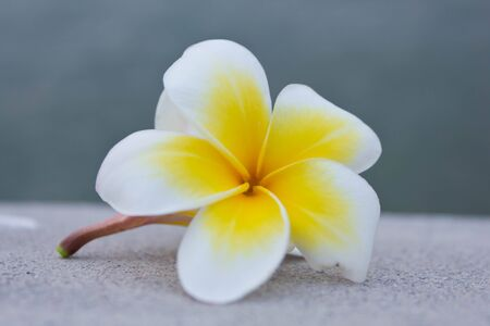 Stock Photo - Plumeria flowers white,Yellow flower  photo