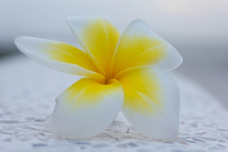 Stock Photo - Plumeria flowers white  white background photo