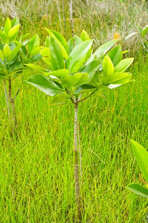 Stock Photo - Young mangrove tree