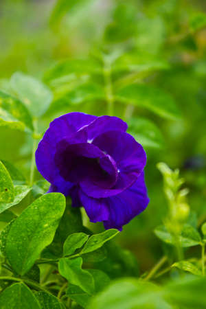 cathartic: Purple flowers or Pea flowers