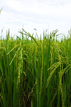 Stock Photo - rice in the field photo