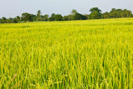 Stock Photo - rice in the field