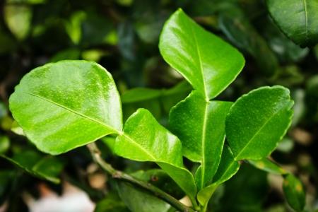 kafir lime: Kaffir Lime Leaves