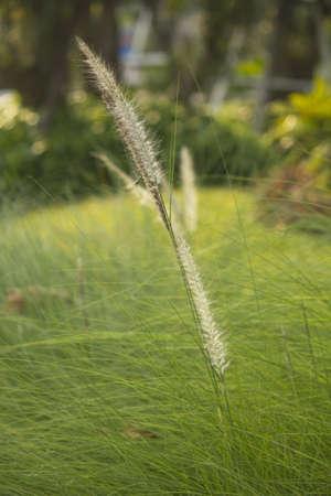cane plumes: green grass macro close up