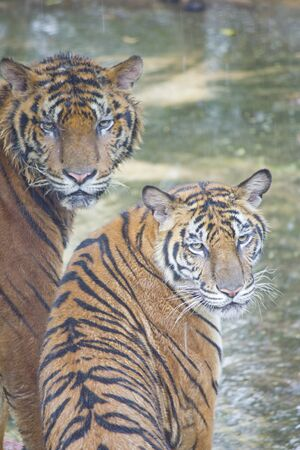 Stock Photo - Two tigers photo