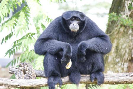 siamang: Stock Photo - Siamang Gibbon