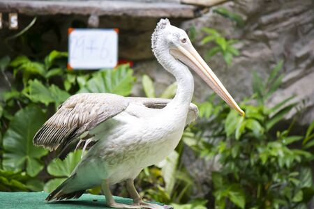 Stock Photo - Pelicans on the lake in the zoo. photo