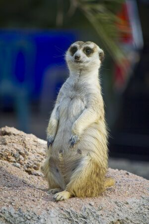 Stock Photo - Meercat or Suricate (Suricata suricatta) Stock Photo