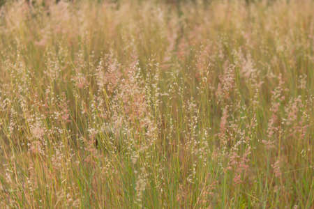 cane plumes:   green grass macro close up Stock Photo