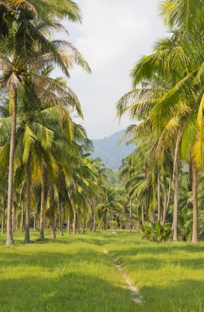 Stock Photo - Arranged in a row, the coconut trees photo