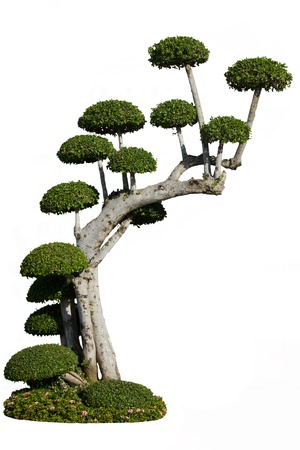 Stock Photo - Dwarf tree on white background photo