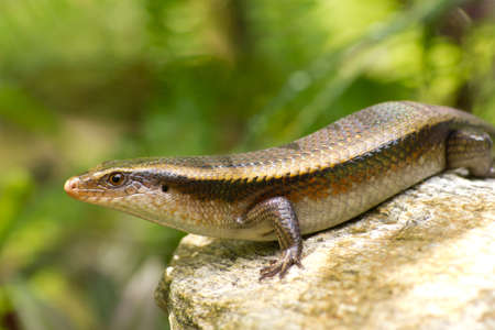Stock Photo - Variable Skink resting on rock elevated view photo