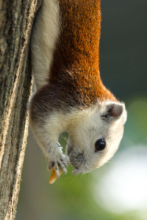 Squirrel climbing on tree and eating photo