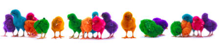 colourful chicks on white background  photo