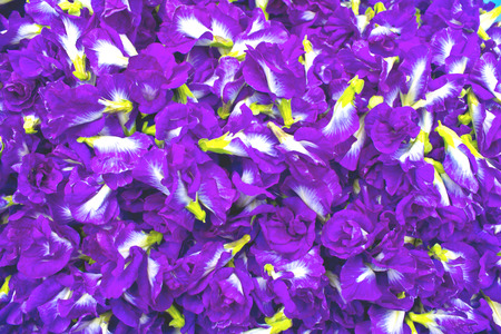 cathartic: Stock Photo - Purple flowers,Pea flowers. Stock Photo