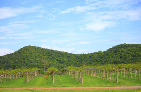 non cultivated: Large photo of a lush green vineyard in the Hunter Valley