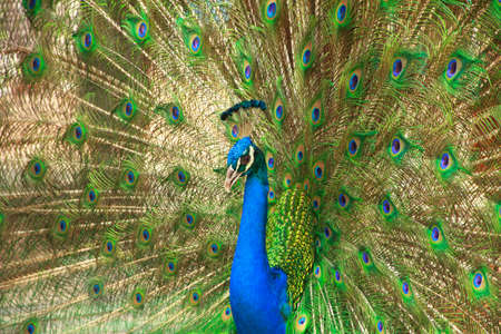 handcarves: Closeup of Peacock with crown and feathers.