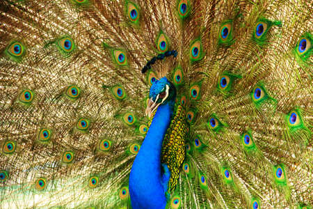 Closeup of Peacock with crown and feathers. photo
