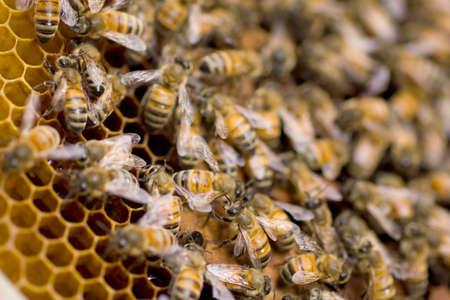 hardworking: Macro shot of hardworking bees swarming on a honeycomb Stock Photo