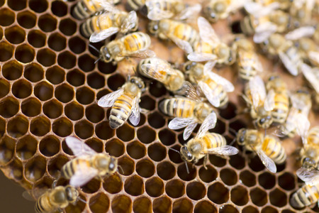 bee and pollen: Macro shot of hardworking bees swarming on a honeycomb Stock Photo