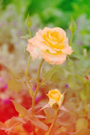 littoral: Rose flower Aprikola