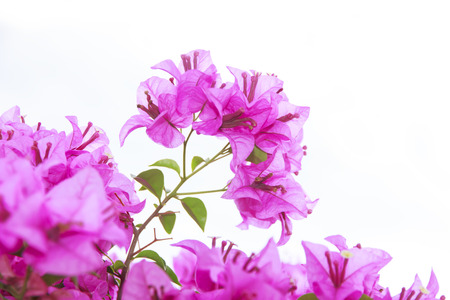 brsnch of bougainvillea flowers isolated on white background