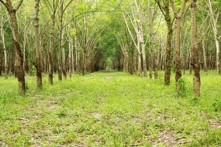heave: Rubber tree plantation in east of Thailand Stock Photo
