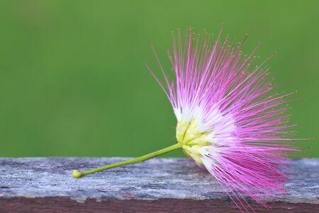 powder puff: Calliandra surinamensis, Family Mimosaceae, common names Pink Powder Puff, Pompon De Marin, Surinam Powder puff, Surinamese Stickpea