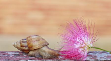 powder puff: snail on Pink powder puff flower in garden Stock Photo