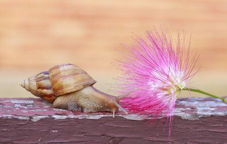 pink powder: snail on Pink powder puff flower in garden Stock Photo
