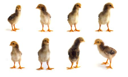 sin protecci�n: Cute little baby chickens on white background