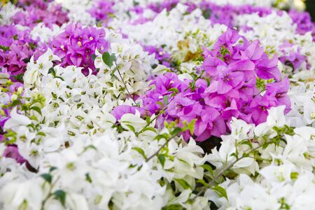 bougainvilleas: Two Tone Pink and White blooming bougainvilleas Stock Photo