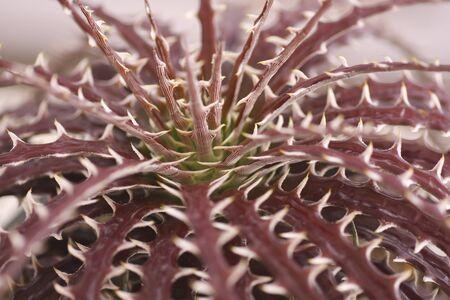dyckia: Mini Dyckia Plant (Bromeliaceae) genus of usually stemless plants of the pineapple family Stock Photo